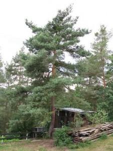 Borovice lesní - habitus, Dolní Hradiště 2008