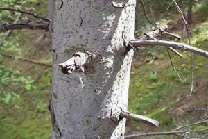 Jedle bělokorá - borka