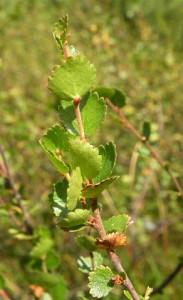 bříza trpasličí - listy, Jezerní slať červenec 2009