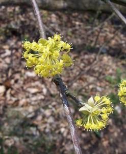dřín jarní - květy, Svatý Jan pod Skalou, květen 2006