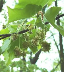 buk lesní - květy