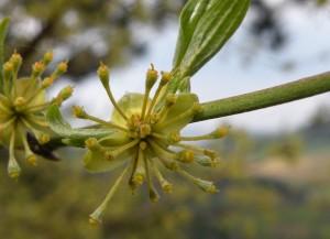 dřín jarní – budoucí peckovice, NPP Kotýz, květen 2006