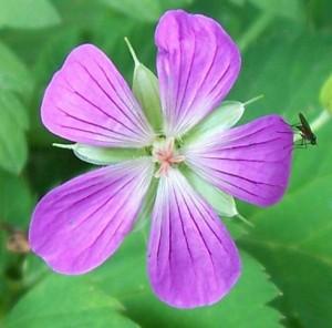 kakost bahenní - květ