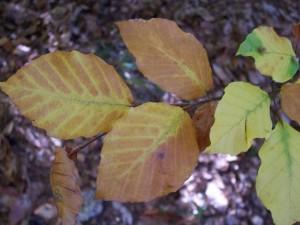 buk lesní - listy