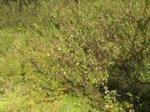 bříza trpasličí, Jezerní slať červenec 2009