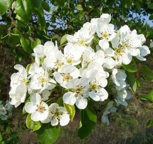 hrušeň polnička – květy, Dolní Hradiště 2006