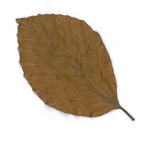 buk lesní - list