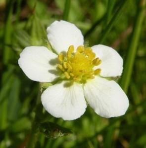 jahodník obecný – květ, Dolní Hradiště 21. 5. 2011