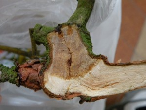 řez jmelím vrostlým do borovice lesní – detail, Dolní Hradiště 30.10.2011