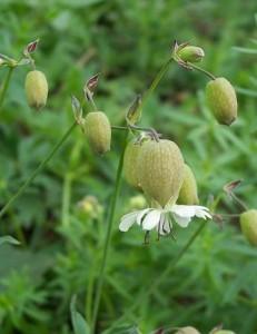silenka nadmutá - květ, Dolní Hradiště