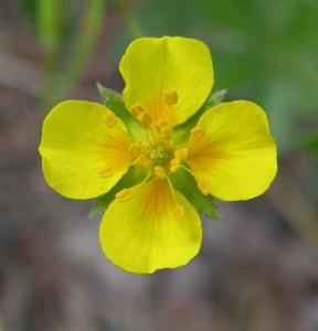 mochna nátržník – květ, Starý Plzenec 22. 5. 2009