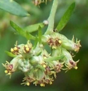 květenství pelyňku černobýlu, 20.8. 2006
