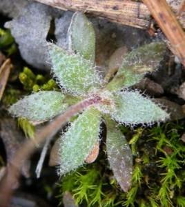 osívka jarní – květy, Starý Plzenec 9.4. 2009