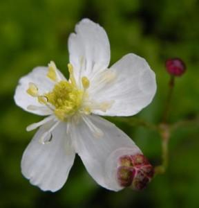 pryskyřník omějolistý – květ, Großer Arber (Velký Javor, Německo) 23. 6. 2009
