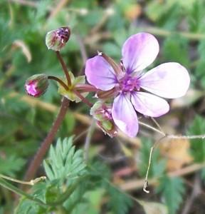 pumpava obecná - květ, Dolní Hradiště 1.4. 2007