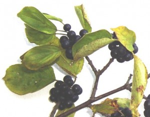 řešetlák počistivý - plody, Dolní Hradiště