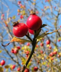 růže šípková – plody, Nalžovské Hory říjen 2010