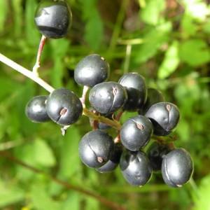 samorostlík klasnatý – zralé plody, Brdy 15. 7. 2011