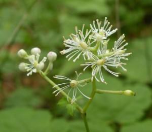 samorostlík klasnatý – květy, Brdy 15. 7. 2011