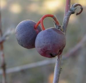 skalník celokrajný – plody, Kozelka 9. 10. 2011